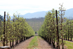 Elgin Valley Apple Orchard